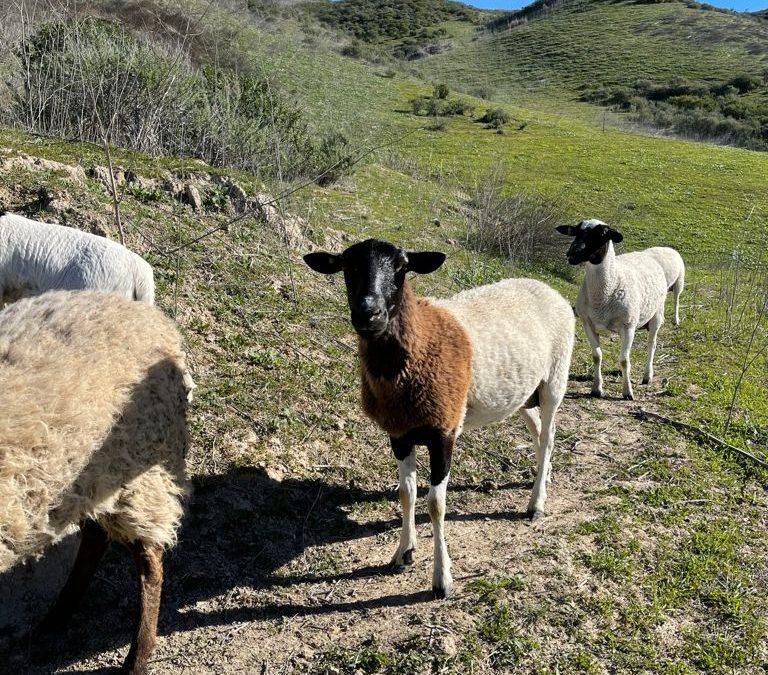 Pasture-Raised Lamb